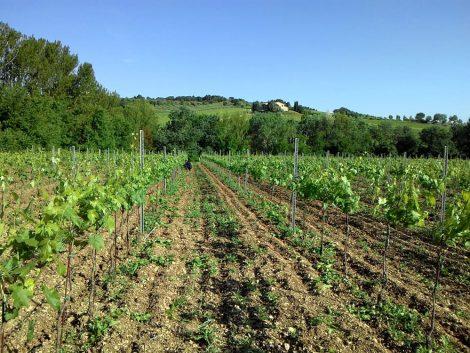 Ripresa vegetativa 2015 Cantina Colle Uncinano Spoleto